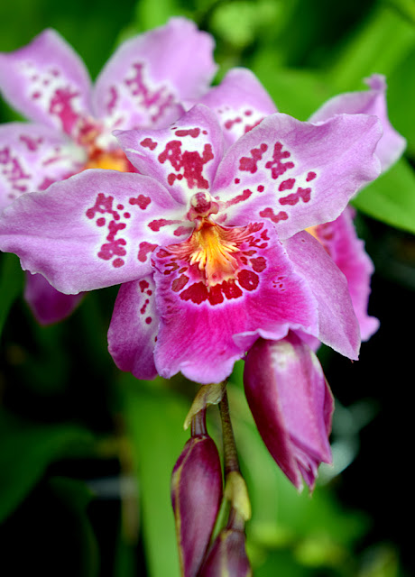 Orchid Daze 2017 | Atlanta Botanical Garden | Photo: Travis S. Taylor