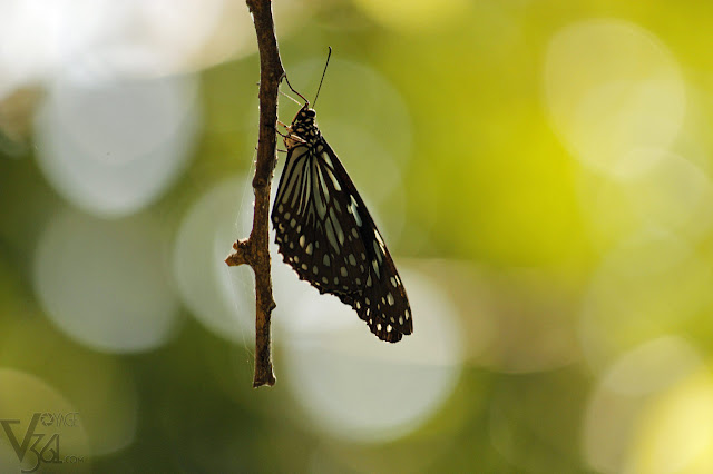 Blue-Tiger Butterfly