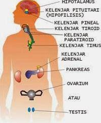 Pengertian Sistem Hormon dan Macam-macam Kelenjar Hormon beserta Fungsinya