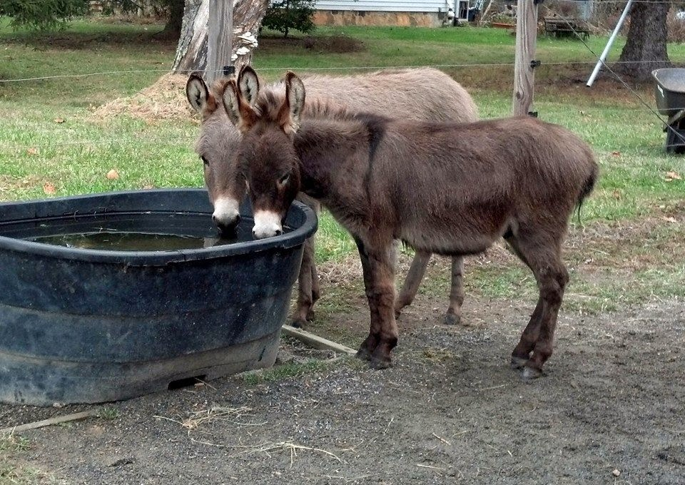 two miniature donkeys by the water trough
