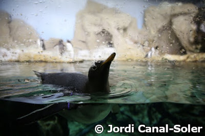 Pingüino en el Acuario de Génova