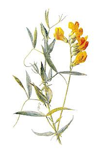 wildflower illustration clip art