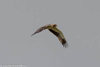 Aguila Calzada