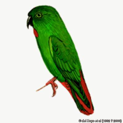 Lorículo de la Sangihe: Loriculus catamene