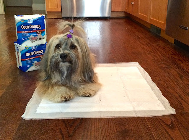 OUT! dog pads Rocco Havanese