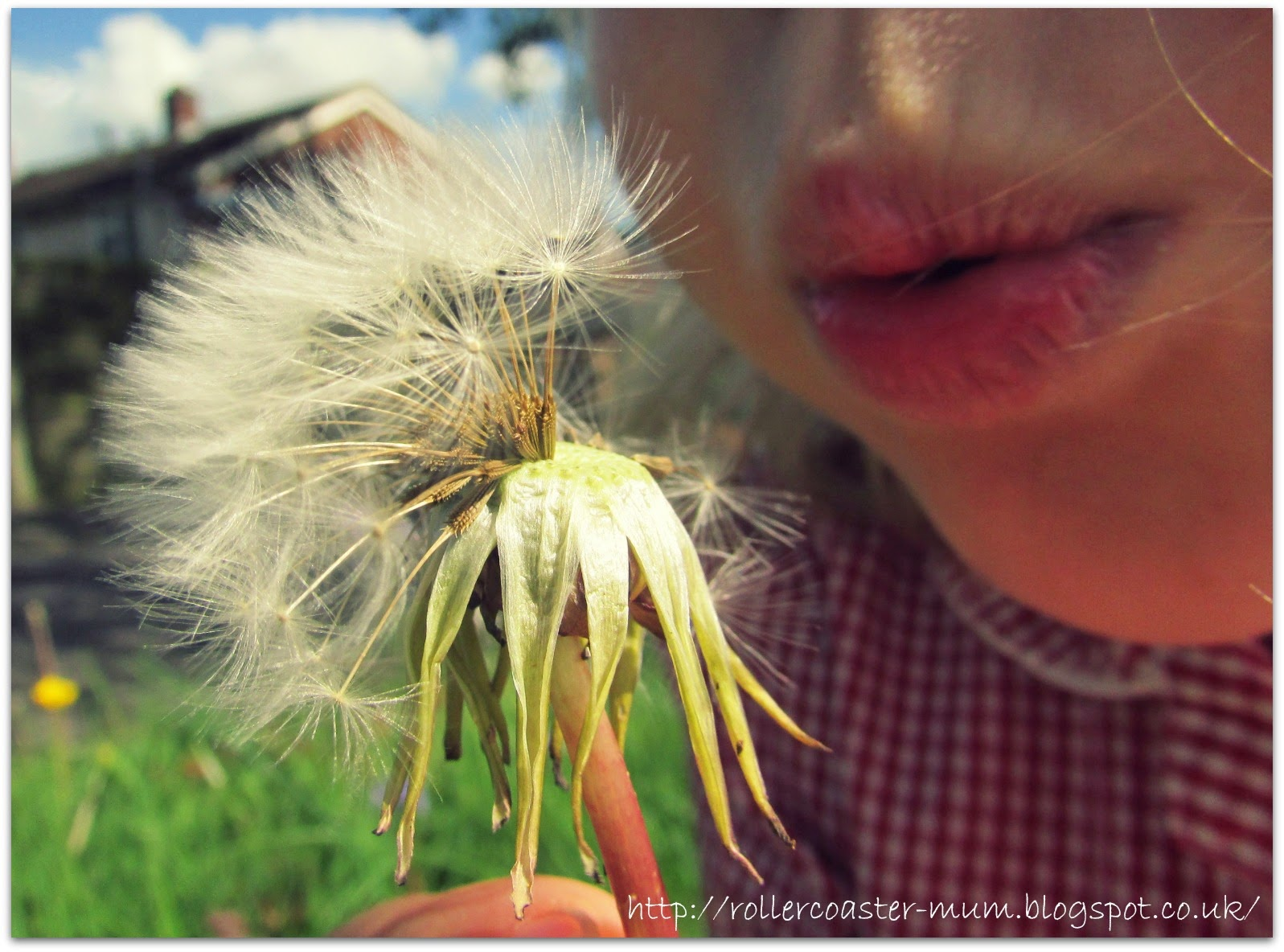 Telling the time from a dandelion clock