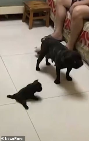 Adorable video shows french bulldog puppies trying to walk for the first time