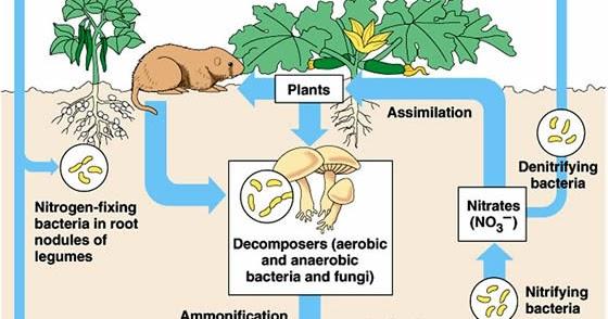 Plant Life: Nitrogen Cycle