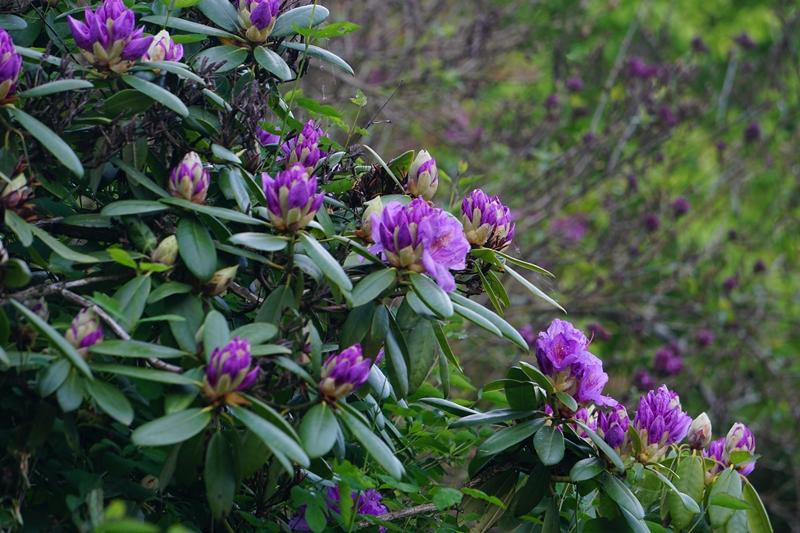 alppiruusu, rhododendron