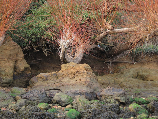 Willow branch with red twigs below cliff on beach