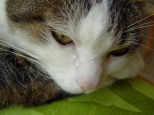 gato llorando triste
