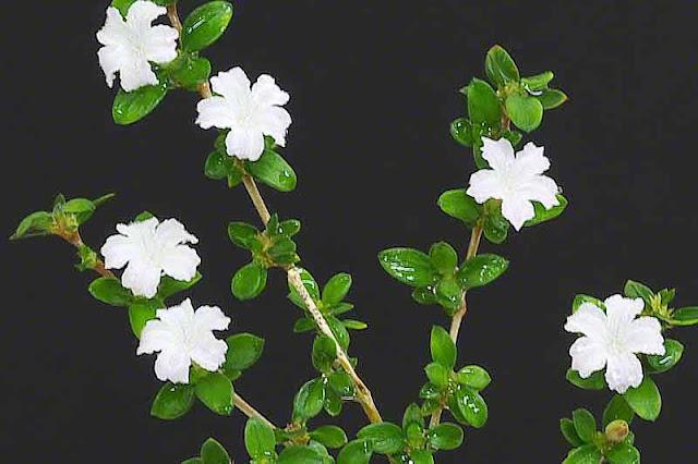 flowers,Serissa foetida, Snowrose