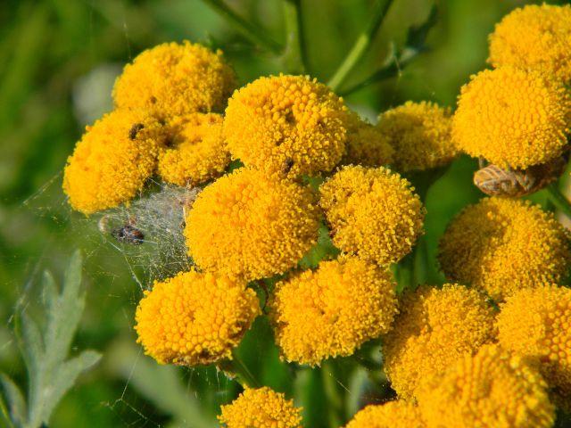 rośliny lecznicze, łąka, natura