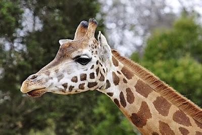 ¿Las jirafas saben nadar?