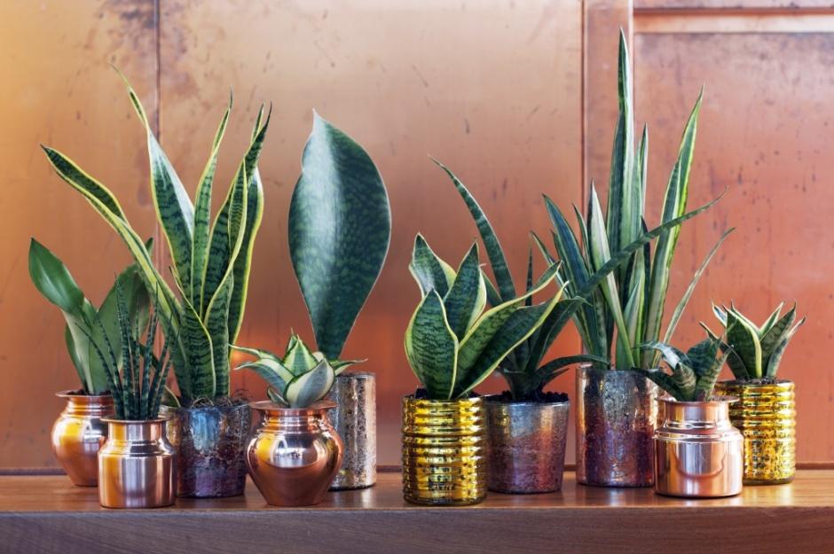 Plantas De Interior Purificadoras I Sanseviera
