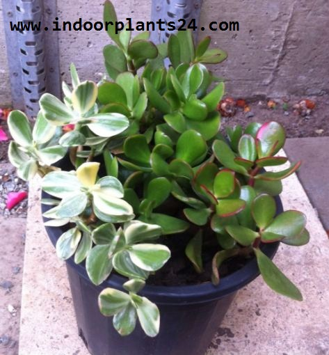 Jade plant Crassulaceae indoor plant picture potted