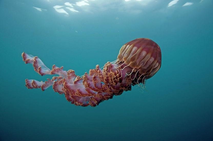 Ubur-Ubur Lion's Mane Jellyfish atau Cyanea capillata kelihatan kecil