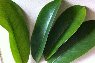 Benefits of soursop leaf to pick the cyst