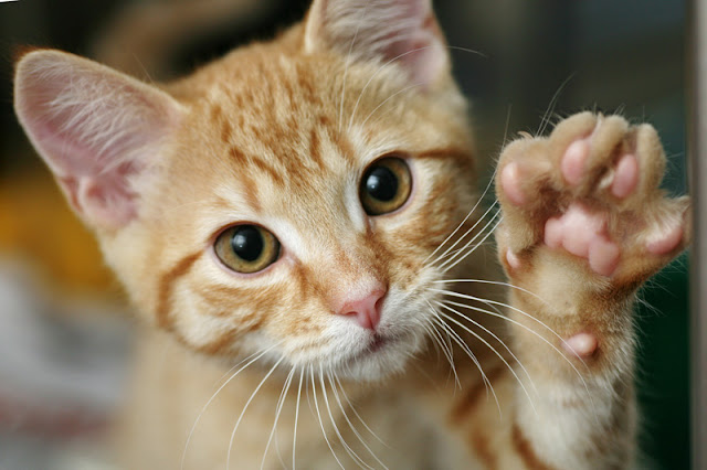 Scientists clicker trained cats to do tricks, like this kitten doing a high five