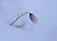 Resultado de imagen de blåklokken i snø