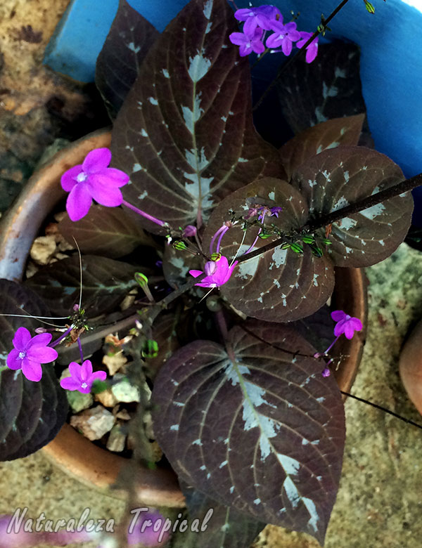 Vista superior de la Planta de Chocolate, Pseuderanthemum alatum