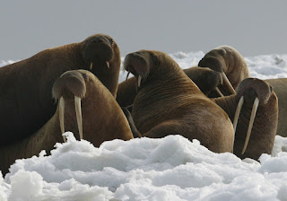 pacific walruses, walruses, sea ice, endangered species acte