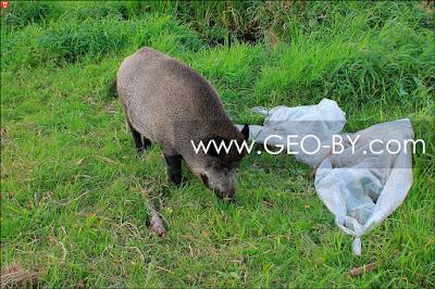 Дикая свинья в агроусадьбе 'Старый млын'