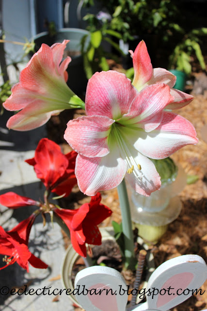 Eclectic Red Barn: Blooming Amaryllis plants