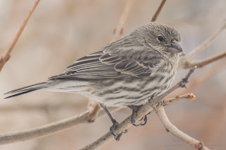 Female House Finch  Photo © Shelley Banks, all rights reserved.