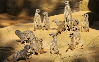 Wallpaper: Meerkats at the Colchester Zoo
