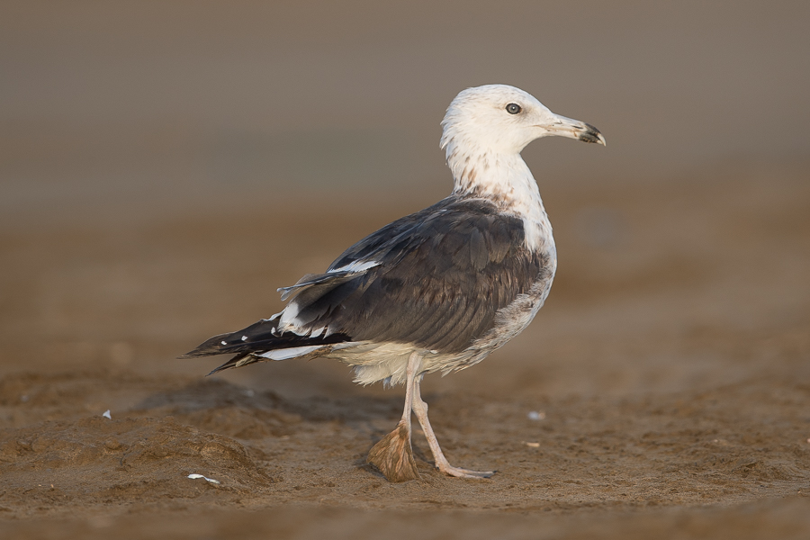 Baltic Gull