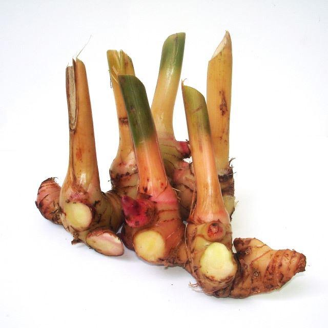 Củ Hồng đậu khấu - Alpinia galanga - Nguyên liệu làm thuốc Chữa Bệnh Tiêu Hóa