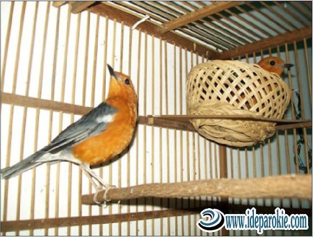 Cara Budidaya dan Ternak Burung Anis Merah dengan Hasil Luar Biasa