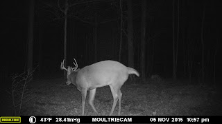 Same buck On Scrape