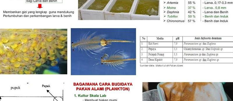 Kultur Pakan Alami Ikan Sederhana dan Berhasil