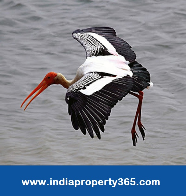 Pulicat Lake - Flamingo at Pulicat lake