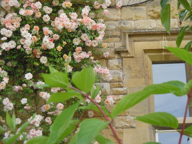róża pnąca na ścianie