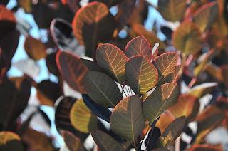 royal purple cotinus leaves