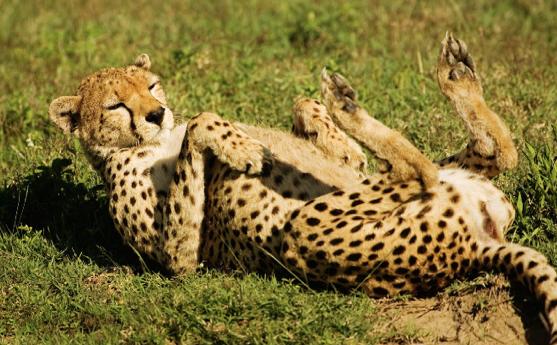 LightsSoBright: Cheetah vs Leopard