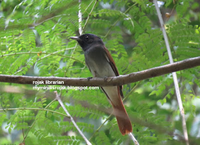 Asian Paradise Flycatcher in Bidadari