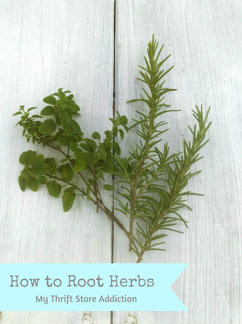 How to root herbs oranically