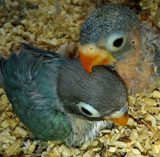 memaster anakan lovebird