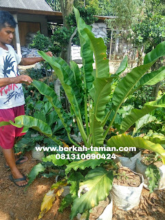 harga pohon philo pisang murah