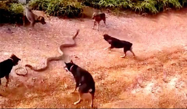 Five Dogs Attack King Cobra In The Park