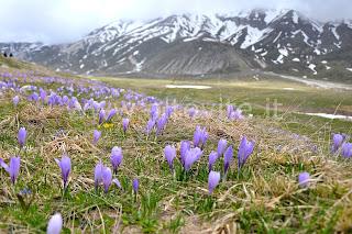 crocus fiore montagna giardino