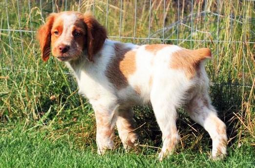 Brittany dog www.worldetalk.com