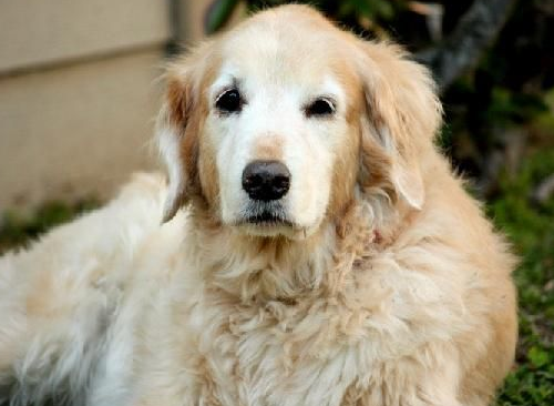 Adopting An Older Golden Retriever