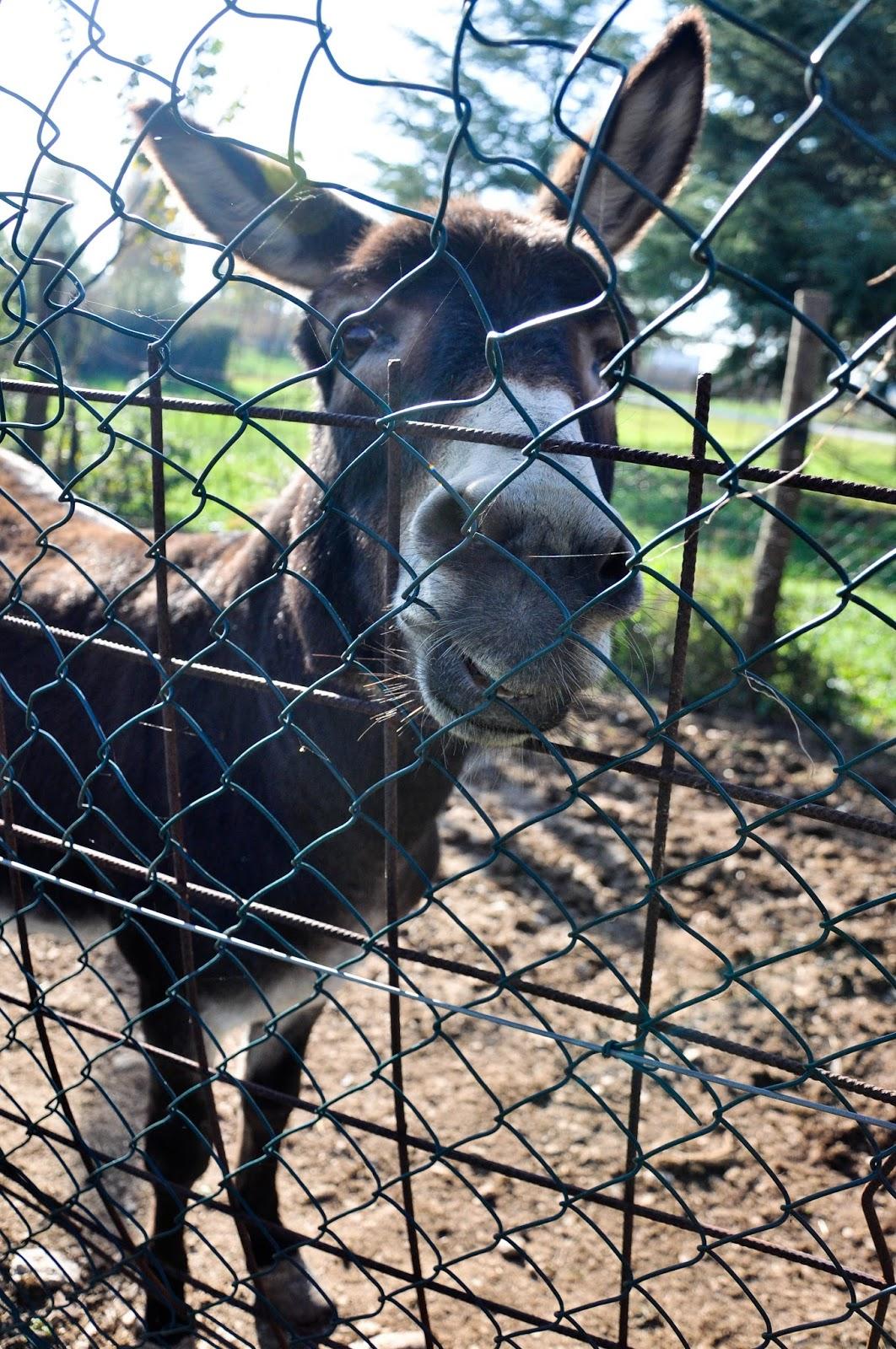 Donkey, Agriturismo La Borina, Veneto, Italy