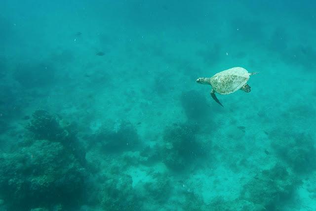 Una tortuga en Gili Trawangan