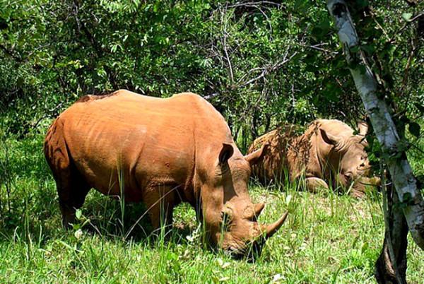 Badak bercula satu di Taman Nasional Ujung Kulon